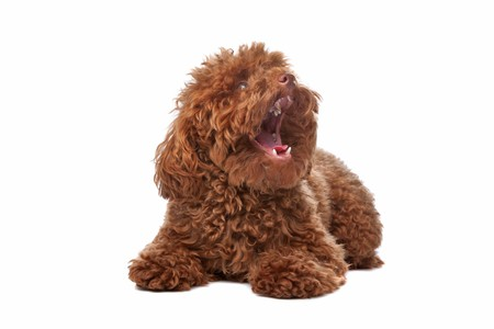 Brown toy poodle with classic grooming in a pose photo