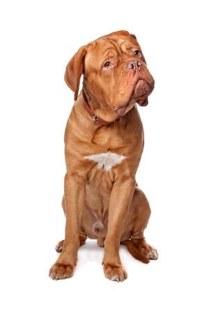 french mastiff: Dogue de Bordeaux (French mastiff). Isolated on white background
