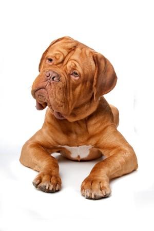Dogue de Bordeaux (French mastiff). Isolated on white background photo
