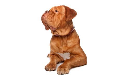 Dogue de Bordeaux (French mastiff). Isolated on white background Stock Photo - 8113994