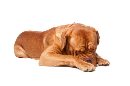 Dogue de Bordeaux (French mastiff). Isolated on white background Stock Photo - 8114058