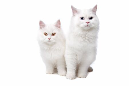 furry: two White cats with blue and yellow eyes. On a white background Stock Photo