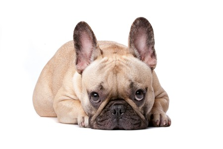French bulldog in front of a white background Stock Photo