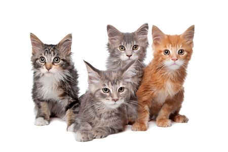 main: Four main coon kittens in a row isolated on a white background Stock Photo