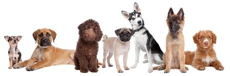 nova scotia: large group of puppies on a white background.from left to right,blue merle Chihuahua, mixed breed Mastiff, chocolate brown medium Labradoole,Pug,Siberean Husky,Belgium Shepherd and a Scotia Nova duck tolling retriever,isolated on a white background