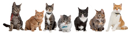 Group of cats,European Shorthair, in front of a white background