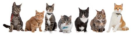remar: Grupo de gatos, gato Europeo, delante de un fondo blanco Foto de archivo