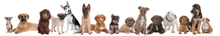 large group of puppies on a white background.from left to right,blue merle Chihuahua, mixed breed Mastiff, chocolate brown Labradoole,Pug,Alaska Malamute,Belgium Shepherd,Scotia Nova duck tolling retriever Yorkshire terrier,mixed breed boomer, pitbull ter