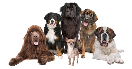 a chihuahua in front of five big dogs, isolated on a white background