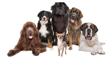 cane chihuahua: una chihuahua di fronte cinque grandi cani, isolato su uno sfondo bianco Archivio Fotografico