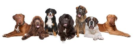 to row: Gran grupo de perros grandes en una fila, aislado en un fondo blanco