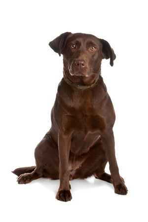 Chocolate labrador retriever dog sitting and looking at camera, isolated on a white background.
