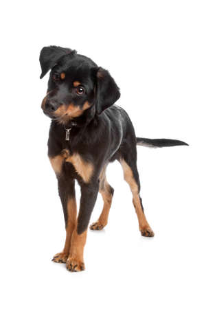 romp: Front view of mixed breed puppy standing, isolated on a white background