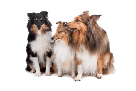 Group of three Shetland sheepdogs (shelty) sitting, isolated on a white background photo