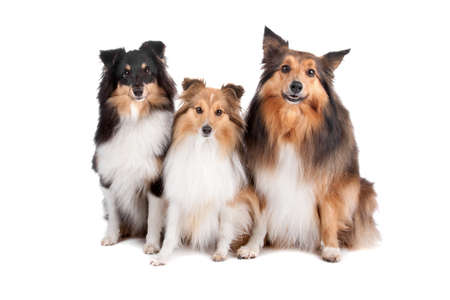 Group of three Shetland sheepdogs sitting and looking at camera(shelty) isolated on a white background photo