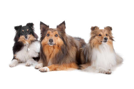 Group of three Shetland sheepdogs (shelty) lying and looking away, isolated on a white background photo