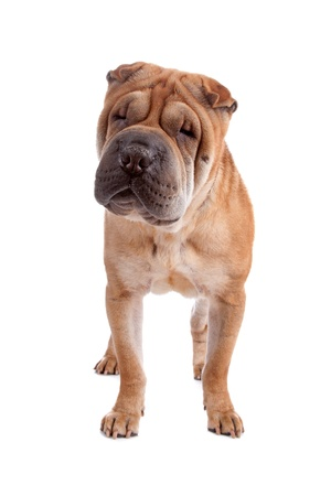 Front view of Shar Pei dog standing and looking ar camera, isolated on a white background