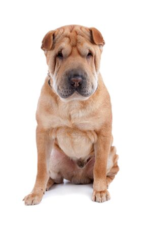 Front view of Shar Pei sitting, dog looking at camera isolated on a white background
