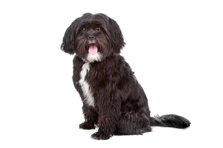 Mixed breed dog Tibetan terrier and Shih tzu, isolated on a white background Stock Photo - 8414066