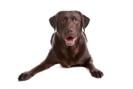 brown haired: Chocolate Labrador Retriever dog lying down, isolated on a white background Stock Photo