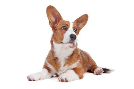 sweater: Welsh Corgi perro miente y mirando hacia los lados, aislado en un fondo blanco Foto de archivo