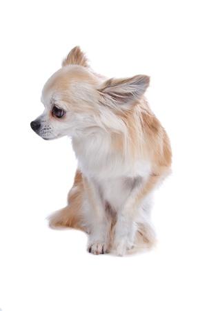 perro chihuahua: Vista frontal de lindo perro de Chihuahua sentado un mirando hacia los lados, aislado en un fondo blanco