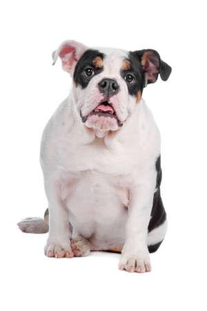 English bulldog sitting, isolated on a white background photo
