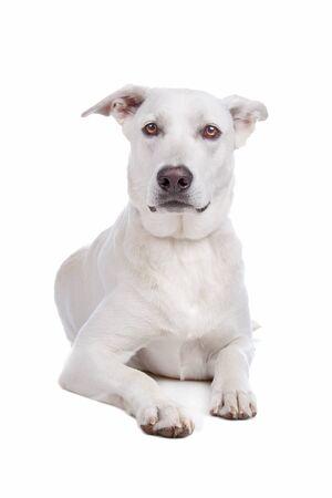 Mixed breeds white shepherd and labrador dog isolated on a white background photo