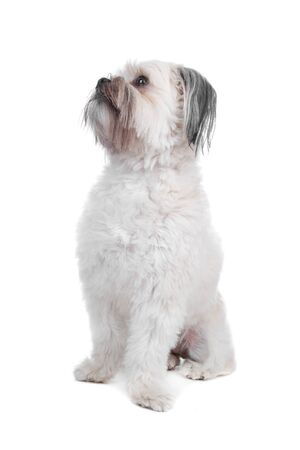 Mixed breed boomer dog sitting, dog looking sideways, isolated on a white background photo