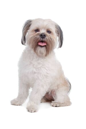 panting: Mixed breed boomer dog sitting, dog panting, isolated on a white background