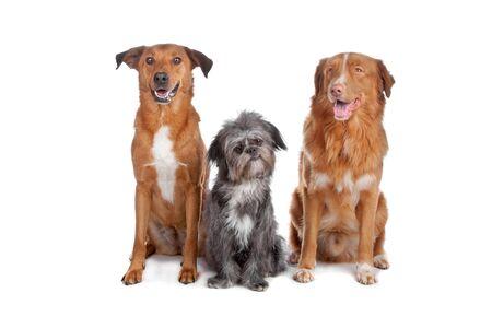 three animals: Due cani di razza mista e una Nova Scotia Duck Tolling Retriever isolato su uno sfondo bianco