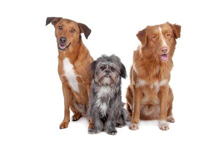 dogs sitting: Dos perros de raza mixta y una Nova Scotia Duck Tolling Retriever aislado en un fondo blanco