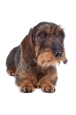 dachshund: Wire haired Dachshund dog lying on front, isolated on a white background