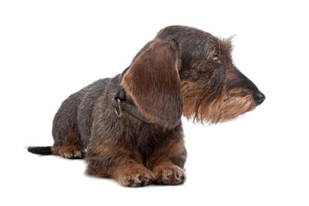 looking sideways: Wire haired Dachshund dog lying on front, looking sideways, isolated on a white background