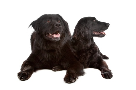 Two mixed breed dogs New foundlandbernese mountain and flatcoatedgolden retriever dog isolated on a white background photo