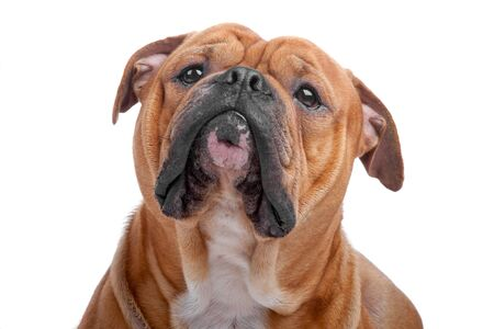 Head of old english bulldog isolated on a white background photo