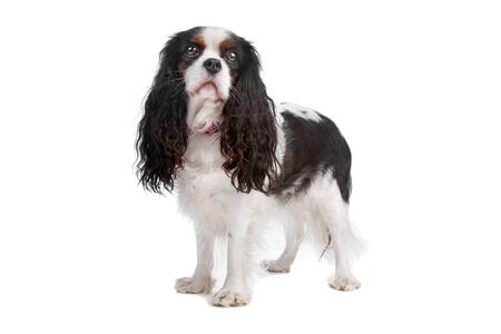 cavalier: Cavalier king charles spaniel dog standing, isolated on a white background Stock Photo