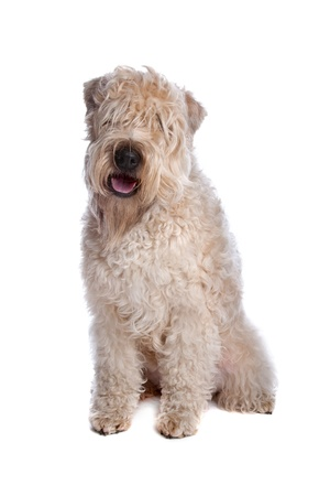 Soft Coated Wheaten Terrier dog lying, isolated on a white background Stock Photo - 8414045