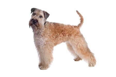 coated: Soft Coated Wheaten Terrier cane permanente, isolato su uno sfondo bianco