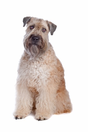Soft Coated Wheaten Terrier dog standing, isolated on a white background Stock Photo - 8414106