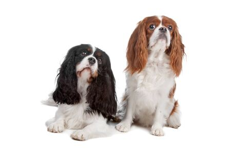 Two Cavalier King Charles Spaniel dogs isolated on a white background