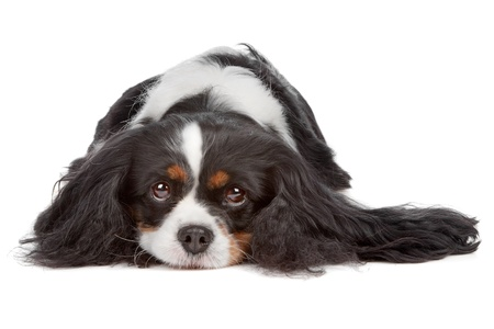 cavalier: Cavalier King Charles Spaniel dog isolated on a white background