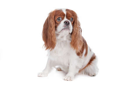 Cavalier King Charles Spaniel dog sitting, isolated on a white background photo