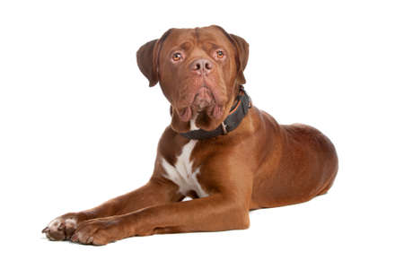 kampfhund: Mix Bull Mastiff, Tosa Inu, isolated on a white background