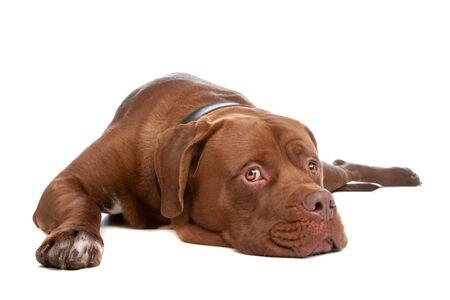 fighting dog: mescolare bull mastiff, tosa inu, isolato su uno sfondo bianco
