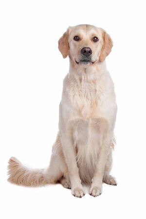 labrador retriever: Labrador Retriever aislado en un fondo blanco