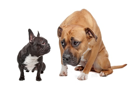 frighten: French Bulldog and a Staffordshire on a white background