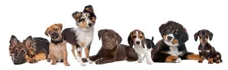 pug puppy: large group of puppies on a white background.from left to right,German Shepherd, mixed breed pug, shetland sheepdog,chocolate Labrador,Beagle,Bernese Mountain dog and a miniature Dachshund Stock Photo