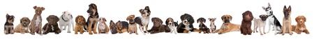 perro labrador: 22 perros cachorros en una fila delante de un fondo blanco Foto de archivo