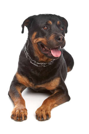 Rottweiler Rottweiler in front of a white background Stock Photo